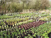 Old Withy Garden Nursery Cornwall